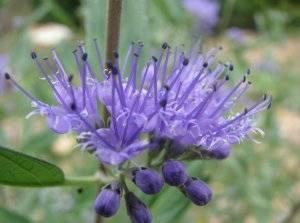 Дёрен пестролистный: посадка, уход и размножение