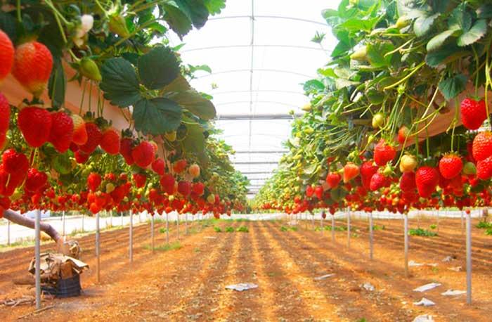 Выращивание клубники в теплице по голландской технологии