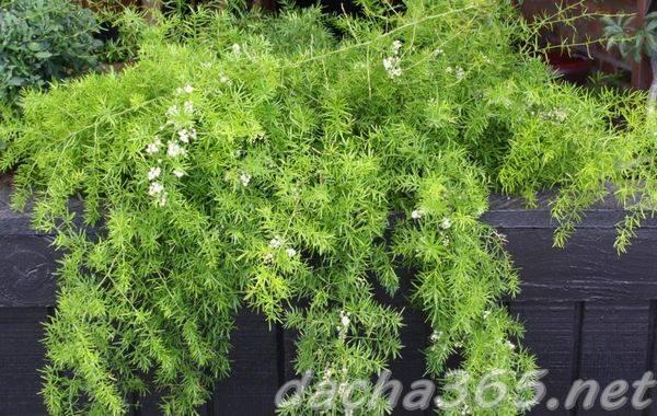Что делать, если комнатный аспарагус желтеет и осыпается? почему это происходит и как помочь растению?
