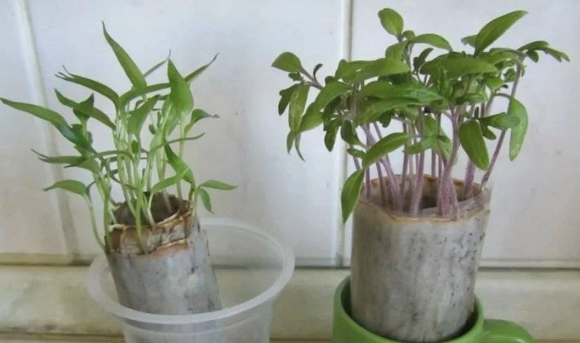 Выращивание овощного гороха в различных условиях