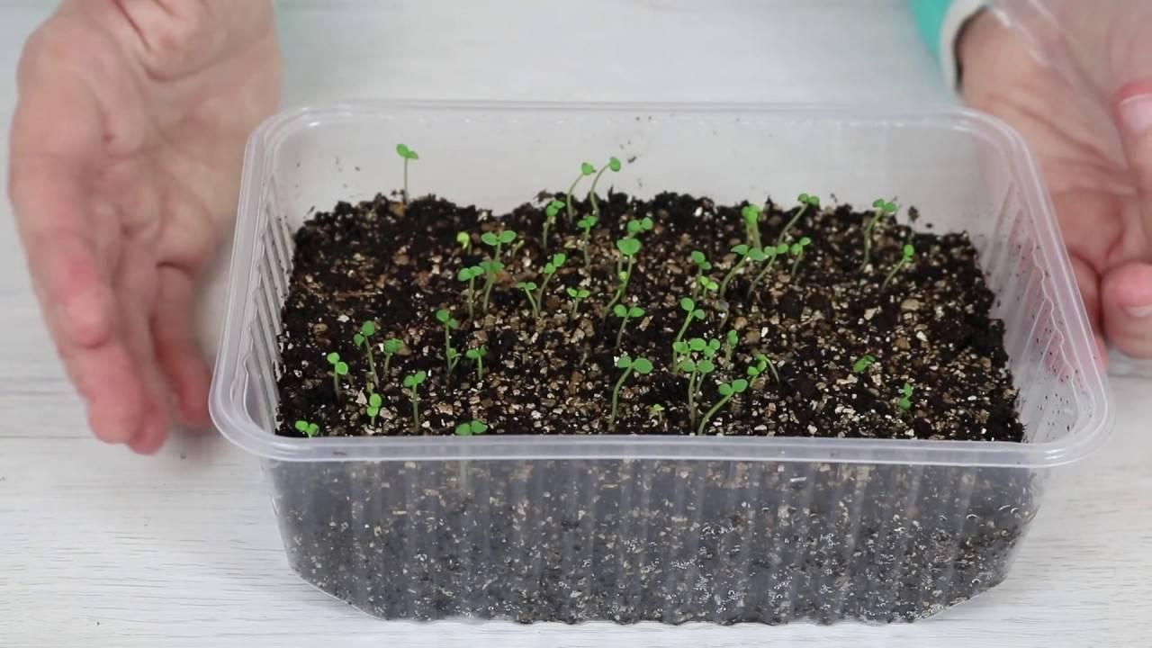 Глоксиния из семян в домашних условиях — как и когда сеять