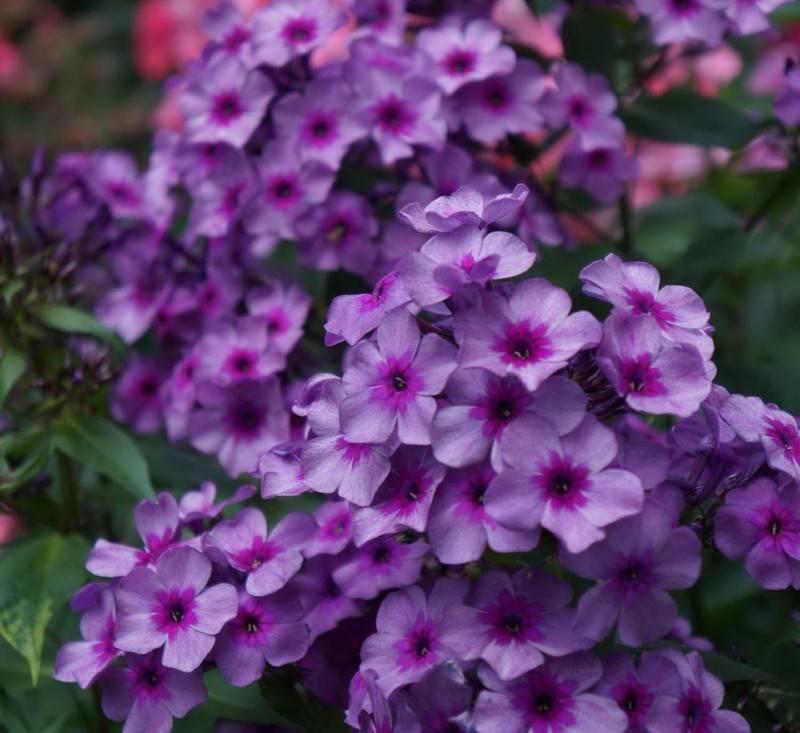 «разбитое сердце» или дицентра: посадка и уход в открытом грунте, фото и выращивание роскошного кустарника с оригинальными цветками в форме сердечка