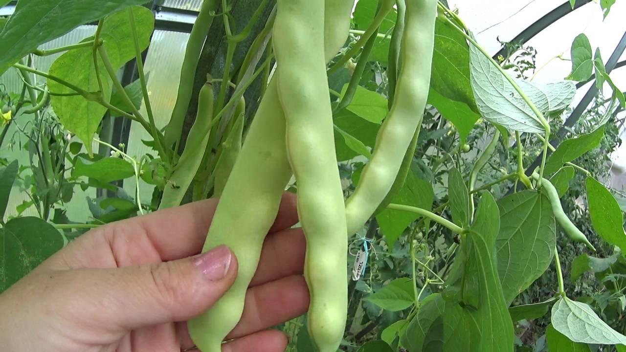 Учимся выращивать и ухаживать за спаржевой фасолью