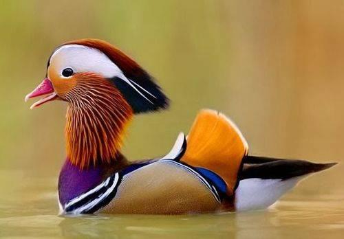 Доклад на тему утка мандаринка (описание, где живет чем питается) сообщение
