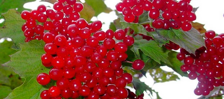 Плодовые сорта калины