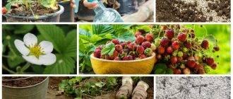 Дипладения — выращивание и уход в домашних условиях