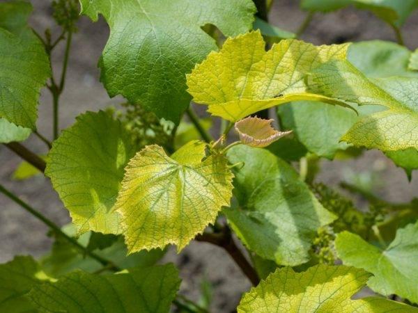 Почему желтеют листья у баклажанов: причины и что делать