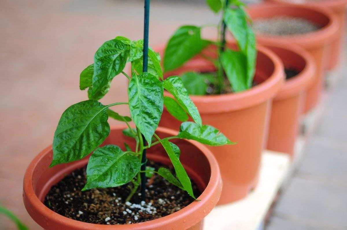 Вопросы о питании: когда и чем подкормить рассаду помидор? правила, таблица и пояснения