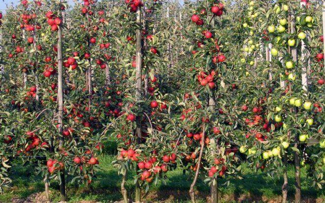 Выбираем сорта колоновидных яблонь для сибири