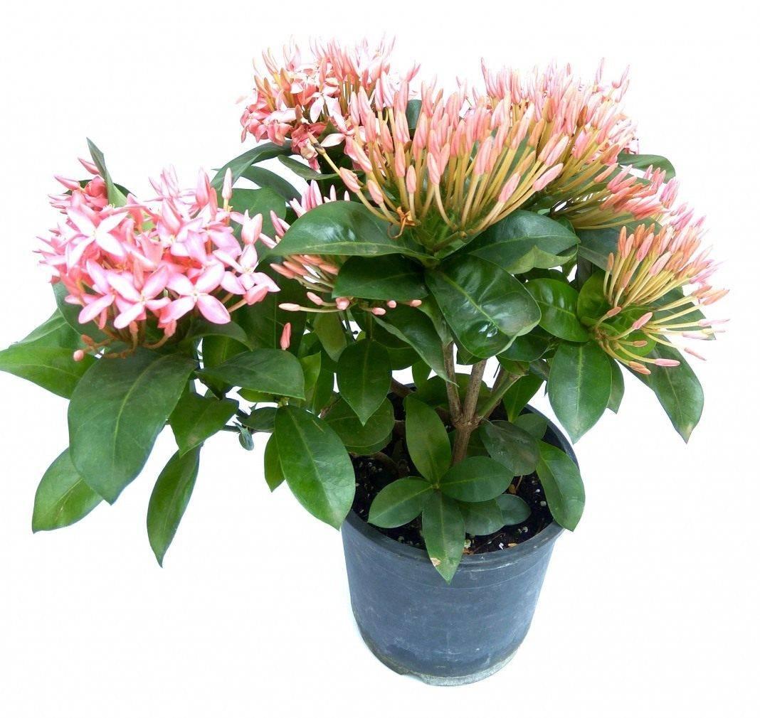 Иксора цветок — описание растения, посадка и уход