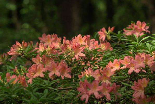 Выращиваем рододендроны: нюансы посадки и ухода, все про размножение