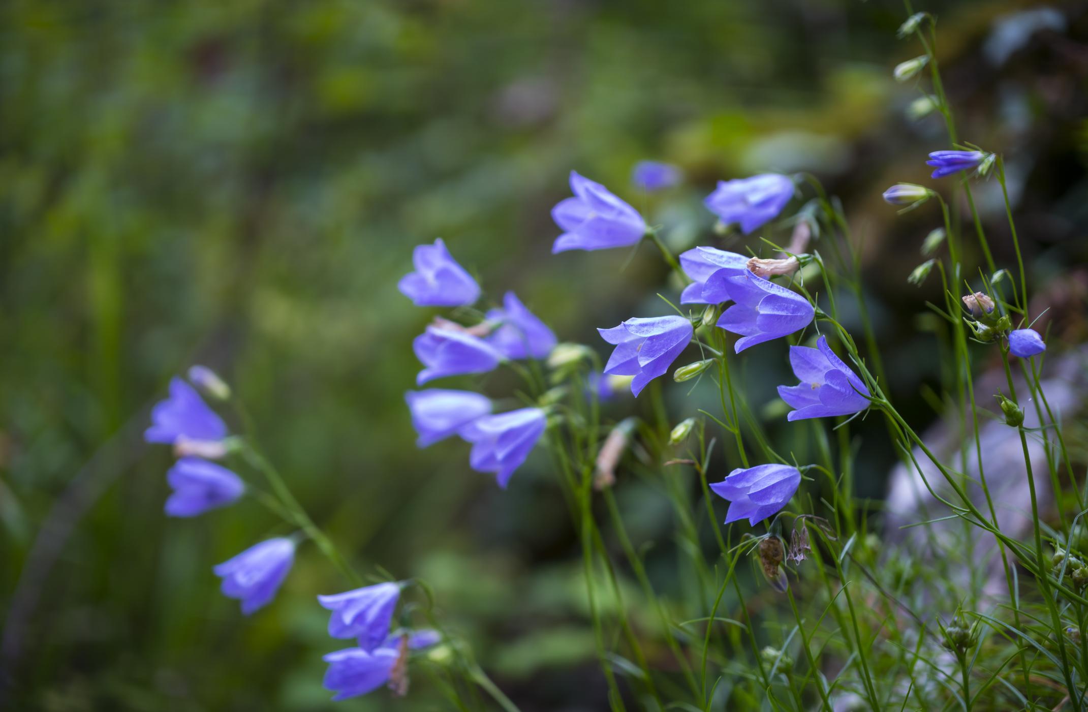 Цветок колокольчик выращивание из семян посадка и уход в открытом грунте фото видов и сортов
