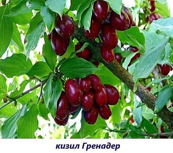 Посадка кизила, особенности выращивания в регионах россии и на украине