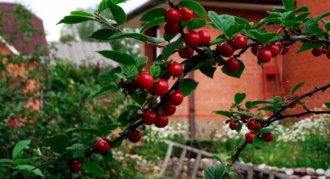 Посадка, выращивание, обрезка и уход за войлочной вишней