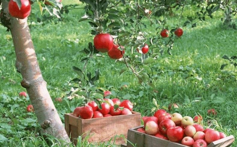 Яблоня грушовка московская: описание сорта, выращивание и уход