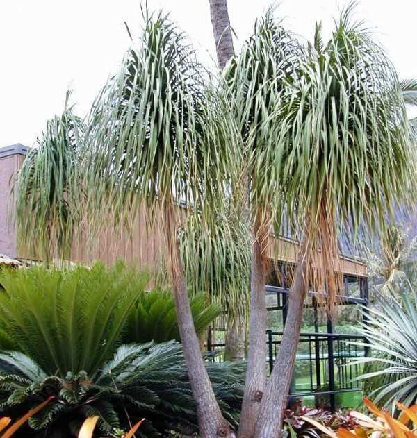 Пальма нолина: особенности содержания тропической гостьи в домашних условиях