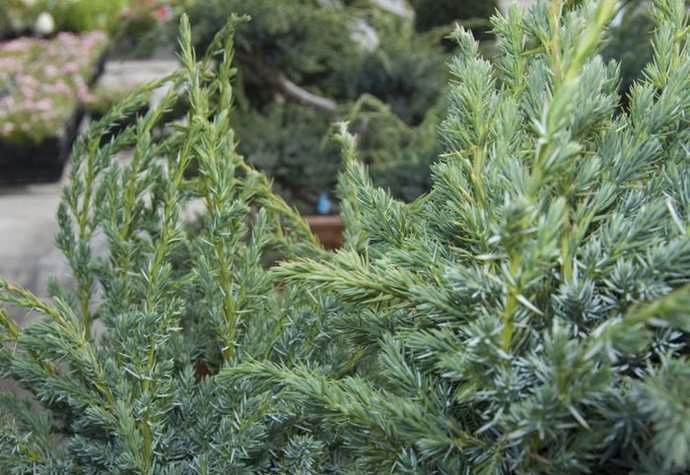 Выращивание и использование в ландшафтном дизайне можжевельника сорта минт джулеп