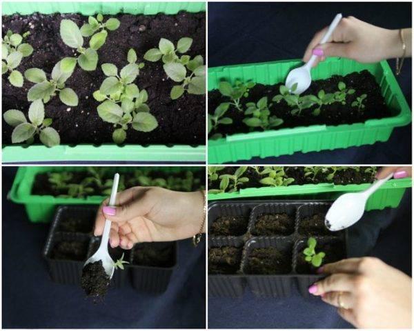Основные хитрости выращивания глоксинии из семян