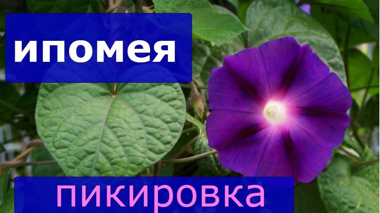 Однолетние цветы, размножающиеся сами самосевом: список с названиями, фото