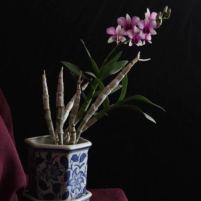 Что делать со стрелкой после завершения цветения орхидеи?