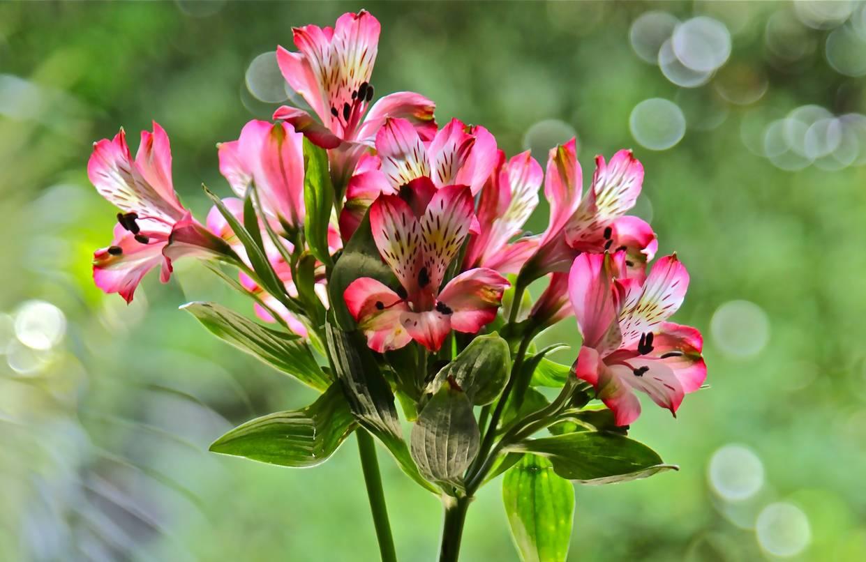 Цветы альстромерия: фото и описание