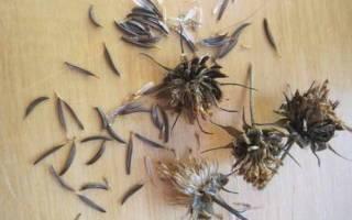 Космея махровая: описание, разновидности и выращивание