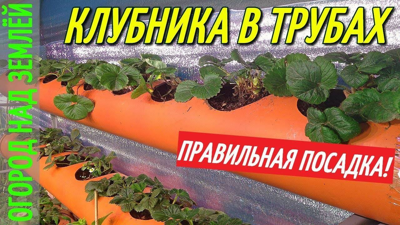 Как и когда сажать клубнику в открытый грунт летом и весной