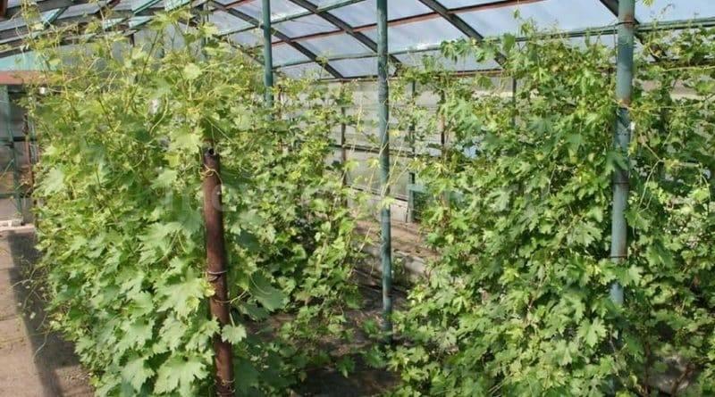 Особенности выращивания винограда в подмосковье: лучшие сорта для открытого грунта и теплицы, посадка, уход
