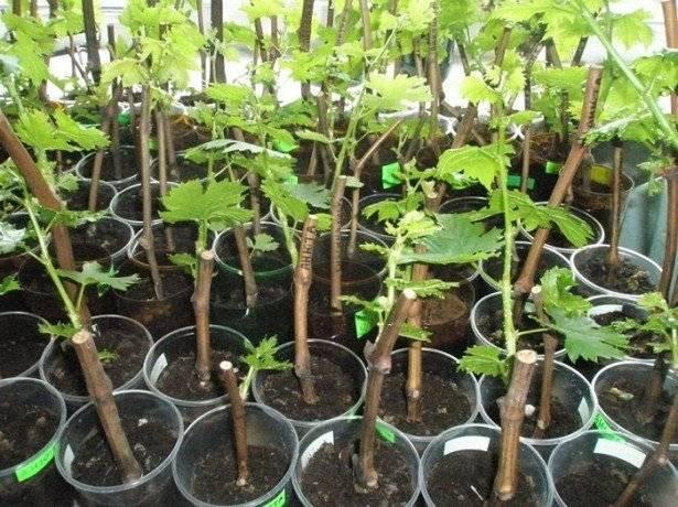Выращивание и уход за шпинатом