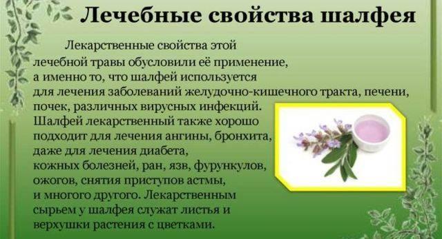 Трава вербена: полезные свойства и противопоказания, от чего помогает, применение в народной медицине, фото