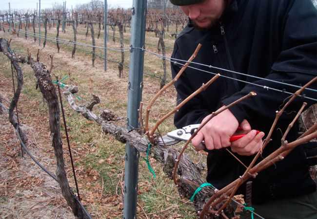 Как правильно обрезать виноград: инструкция для начинающих