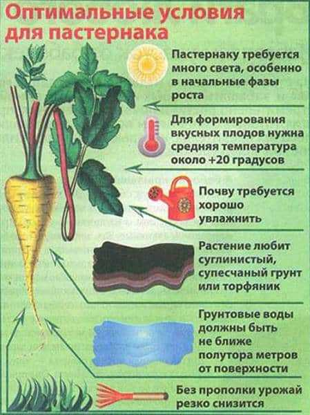 Выращивание пастернака из семян в открытом грунте, уход, видео