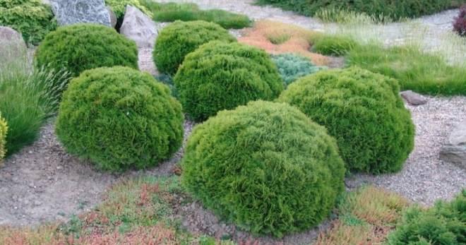 Шаровидные туи: описание, виды и выращивание