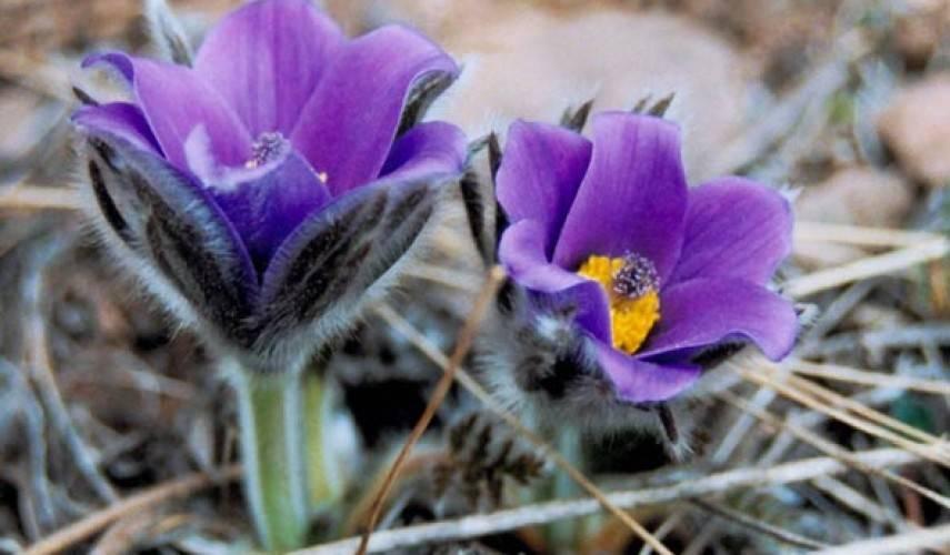 Прострел обыкновенный выращивание из семян