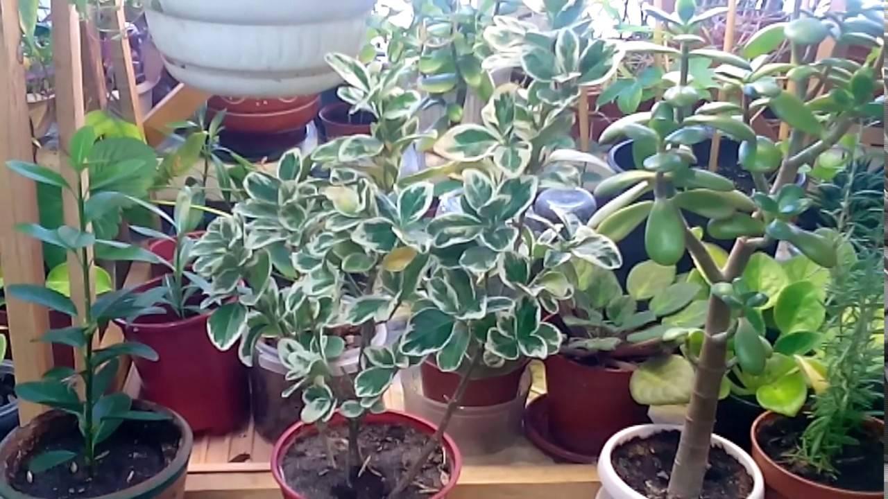 Выращиваем бородавчатый бересклет в саду и дома: уход и фото
