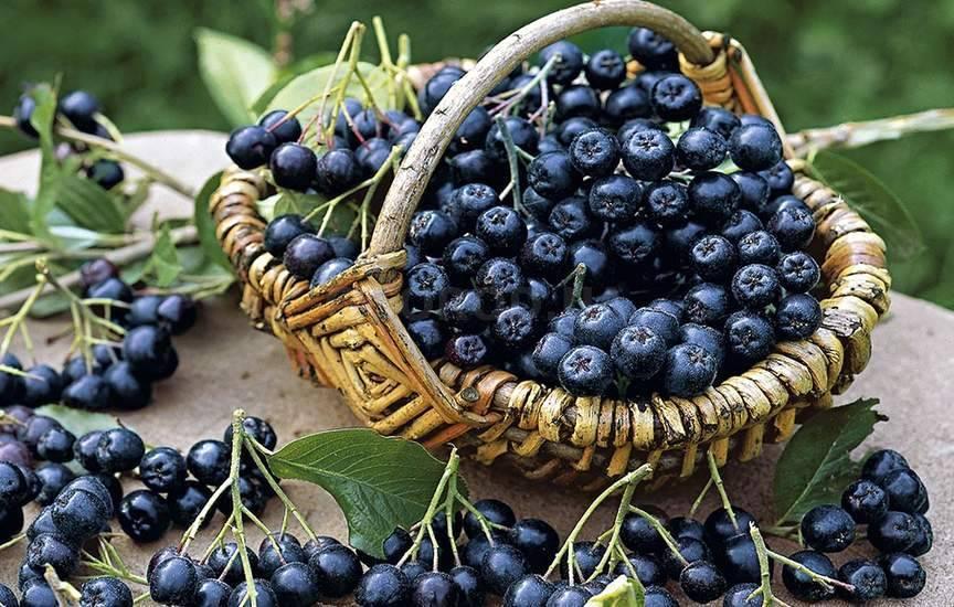Как размножить черноплодную рябину: лучшие способы
