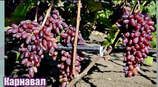 Виноград ризамат — удивительно сладкий и плодовитый сорт