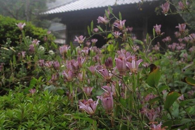 Трициртис - садовая орхидея