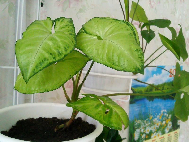 Сингониум: виды и названия с фото, выращивание и уход в домашних условиях
