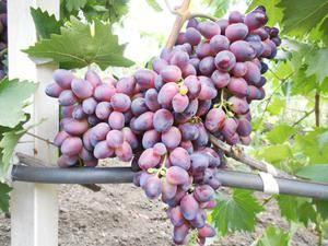 Виноград Красотка — описание сорта, фото, плюсы и минусы гибрида