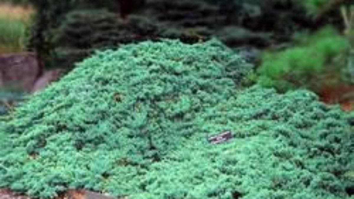 Виды и сорта можжевельников