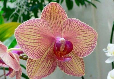 Рассказываем, как спасти орхидею без листьев, но с корнями
