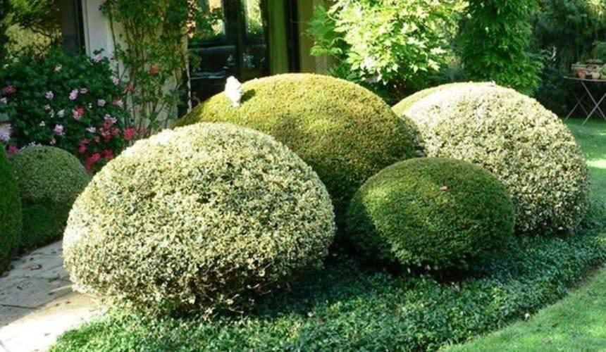 Японский бересклет: уход и выращивание в домашних условиях