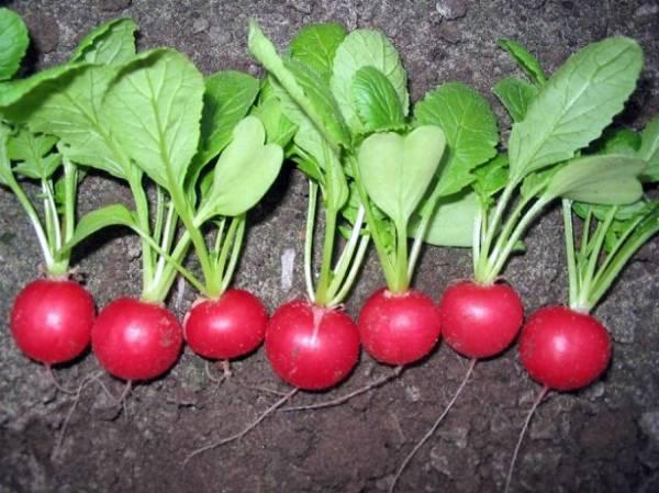 Особенности посадки черной редьки в открытом грунте и теплице