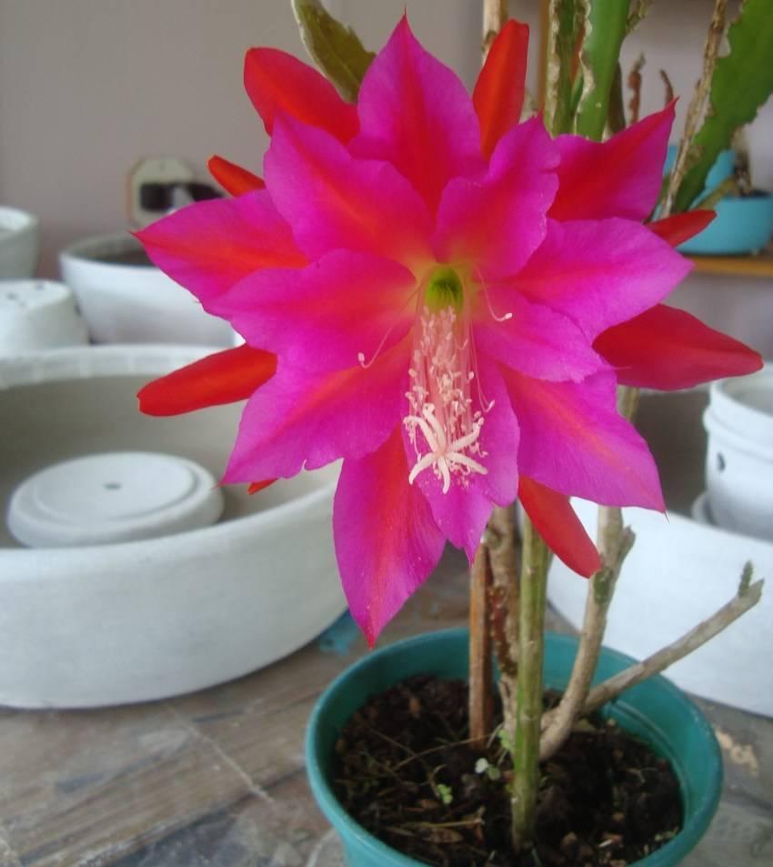 Как ухаживать за кактусом, чтобы он радовал вас своим цветением
