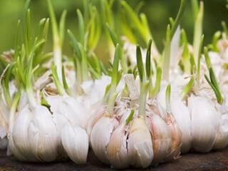 Выращивание озимого чеснока – все от посадки до уборки урожая