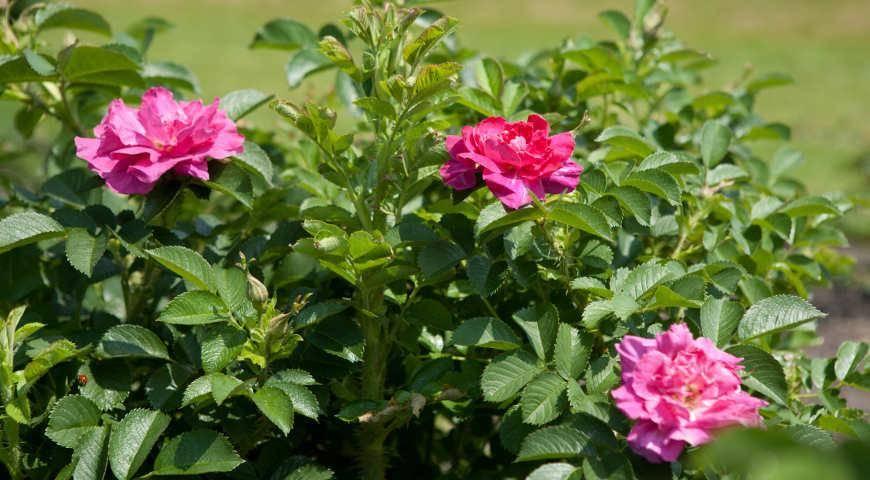 5 заповедей ухода за розами летом для пышного цветения