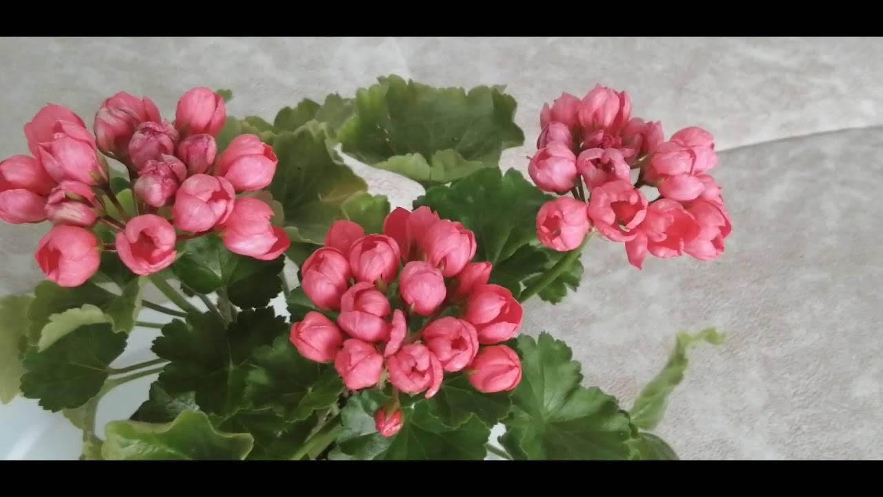 Описание, посадка и уход за геранью «тюльпановидной»: фото + видео