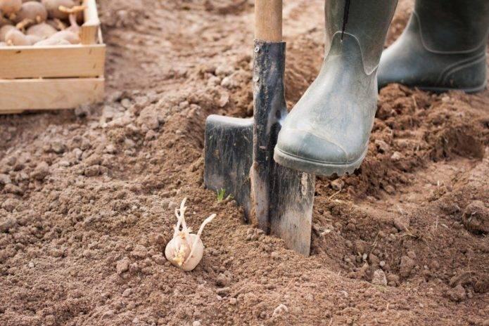 Подготовка почвы для посадки картофеля весной