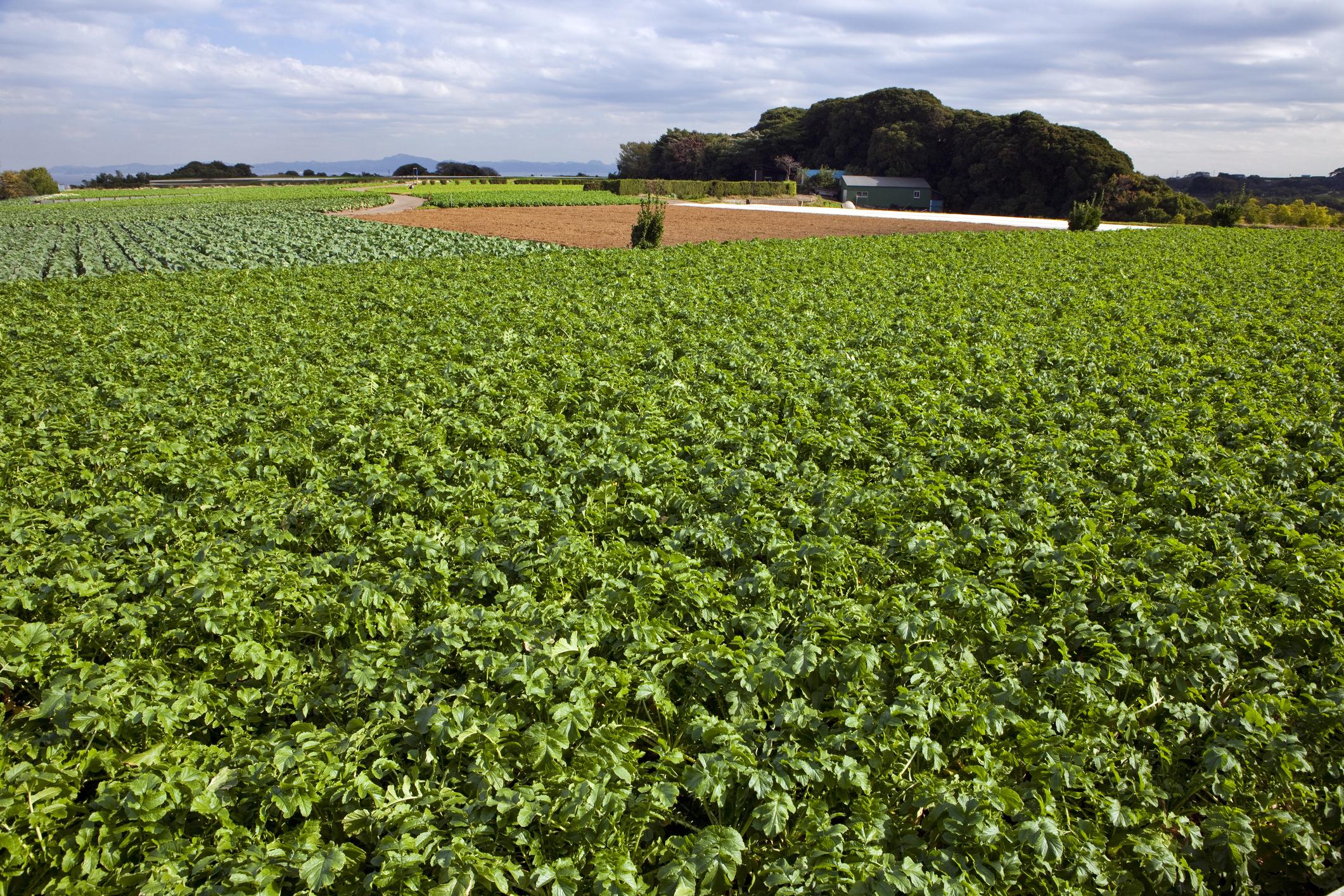 Все о масличной редьке — описание и фото овоща, особенности выращивания и применения